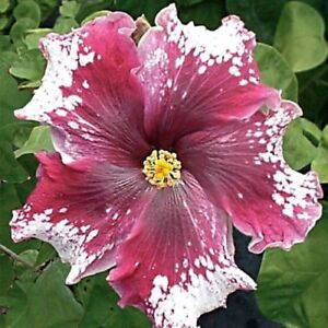 Image is loading 10-Rare-White-Maroon-Hibiscus-Seeds-Giant-Dinner- : dinner plate hibiscus seeds - pezcame.com
