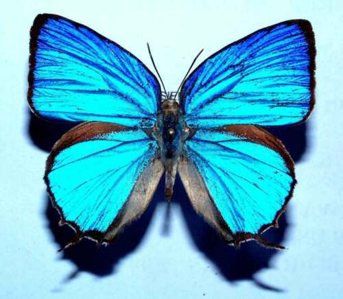 unmounted butterfly ARHOPALA ARAXES
