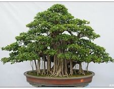 Beautiful Banyan Bonsai Tree -Indian Strangler Fig - 10 seeds bag