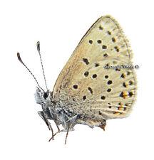 Unmounted Butterfly/Lycaenidae - Plebejus (Aricia) saepiolus saepiolus, FEMALE