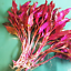 Alternanthera-Reineckii-Rosanervig-Bunch-Freshwater-Live-Aquarium-Plant-Red-Rare thumbnail 1