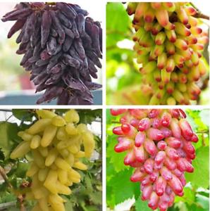 50pcs-Finger-Grape-Berry-Seeds-Rare-4-Kinds-Colors-Pereninal-Garden-Home