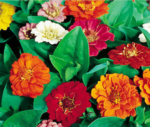 ZINNIA-THUMBELINA-DWARF-MIXED-COLORS-Zinnia-Elegans-1-100-Bulk-Seeds