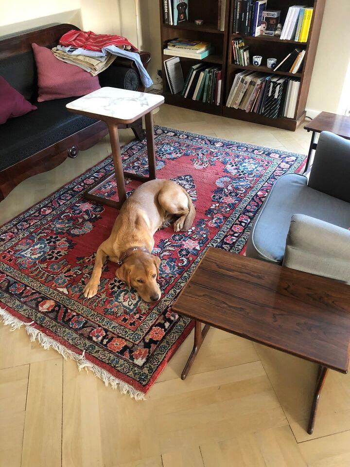 Ravfarvet labrador med stamtavle søger kærlighed