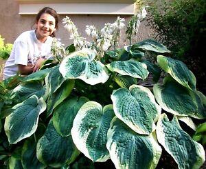 Huge Hosta Mix Hardy Perennial Garden Shade Sun Large Giant 30