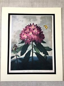 Vintage-Botanical-Print-Rhododendron-Flower-Pink-Thorntons-Temple-of-Flora-LARGE