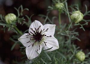 10-000-Samen-Nigella-sativa-Echter-Schwarzkummel-Grospackung