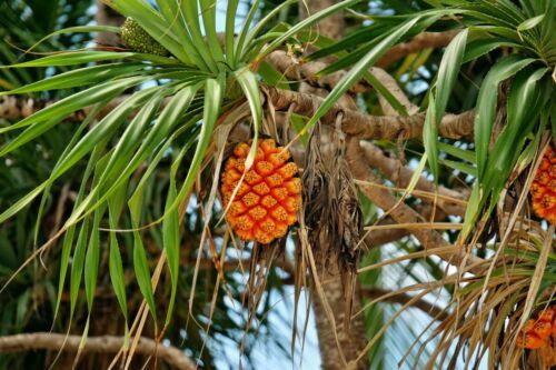 Pandanus amaryllifolius Schraubenbaum Pflanze 10cm Pandan-Palme essbare Früchte