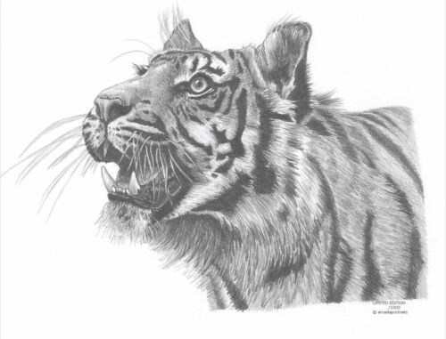 TIGER Limited Edition art drawing print 2 sizes A4//A3 /&  card available