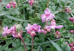 Hardy geranium 5 plants pink flowers spring blooms perennial ebay image is loading hardy geranium 5 plants pink flowers spring blooms mightylinksfo