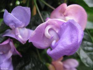 Garten-Pflanzen-Samen-winterharte-Zierpflanze-Saatgut-Rankpflanke-SCHNECKENBOHNE