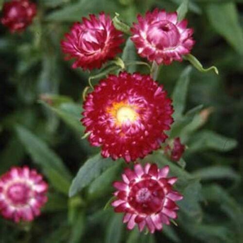 Helichrysum Purple//Red BOGO 50/% off SALE 200 Seeds Strawflower