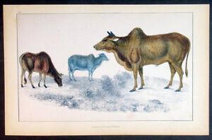 1830-Oliver-Goldsmith-Antique-Print-of-Male-Female-Miniature-Zebu-Humped-Cattle