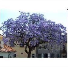 Paulownia Tomentosa Empress Foxglove Tree  30Seeds