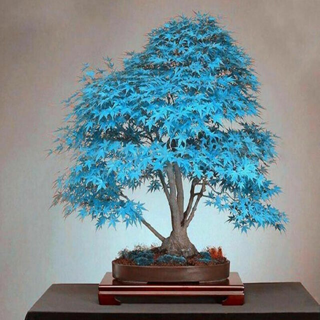 Rare American Blue Maple Bonsai Tree Seeds Japanese Garden Spring P Anting Home For Sale Online Ebay
