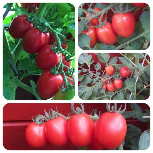 Roi HUMBERT rouge tomate italienne camp tomate très ancienne variété d/'Italie