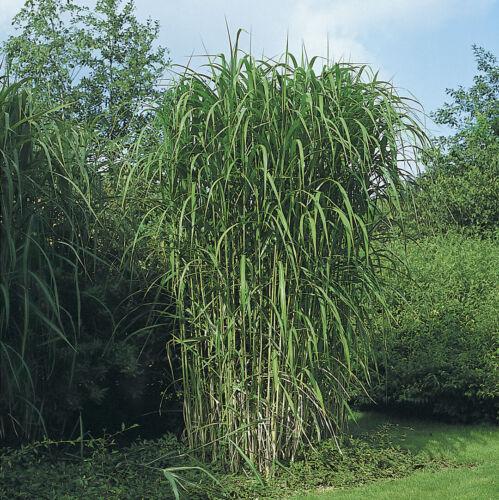 Miscanthus floridus GIANT MAIDEN GRASS Seeds!