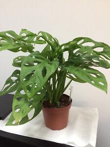 Details about Monstera Adansonii / Adonsonii Obliqua house plant - on philodendron houseplant, avocado houseplant, flacourtia indica, ficus houseplant, nephthytis houseplant, coccoloba uvifera, hovenia dulcis, dovyalis caffra, marsdenia australis, syzygium fibrosum, colocasia esculenta, pleiogynium timorense, xanthosoma sagittifolium, lemon drop mangosteen, myrica rubra, monstera epipremnoides, pothos houseplant, dieffenbachia houseplant, codiaeum variegatum, sansevieria trifasciata,