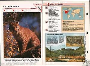 """Lynx roux bai Linx rufus Chat sauvage Bobcat Cat Animaux Animals FICHE FRANCE - France - PORT GRATUIT A PARTIR DE 4 OBJETS BUY 4 ITEMS AND WORLDWIDE SHIPPING IS FREE EXCEPT USA, CANADA, AMERICA ONLY TRACKING MAIL FICHE TECHNIQUE, SPECIFICATION SHEET PAPIER GLACÉ, GLAZED PAPER RECTO-VERSO FORMAT 35 CM X 23,5 CM SIZE : 12.06"""" X 8.28""""  - France"""