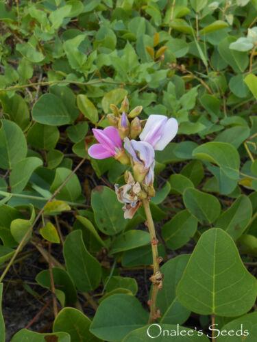AKA: Baybean 5 Beach Bean Vine Seeds Jackbean Canavalia Rosea Salt tolerant