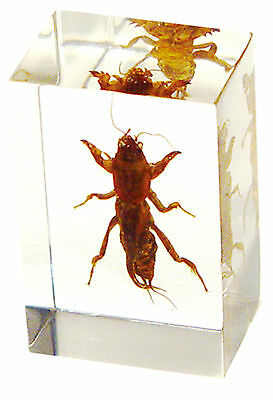 Real Mole Cricket Specimen Small Paperweight (TE01)