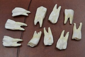 10 PCS DRILLED BUFFALO BONE TEETH TOOTH BEADS PENDANT #698B