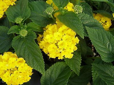 50 Yellow Lantana Seeds -  Yellow Flowers