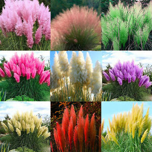 Lots-2000x-Pampas-Ornamental-Seeds-Bonsai-Plant-Flower-Cortaderia-Selloana-Grass