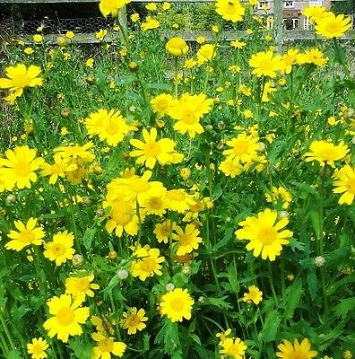 Wildflower Seeds 2000 Seeds Corn Marigold
