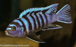 MALE Cynotilapia afra white Top 2 inch African Cichlid Live fish
