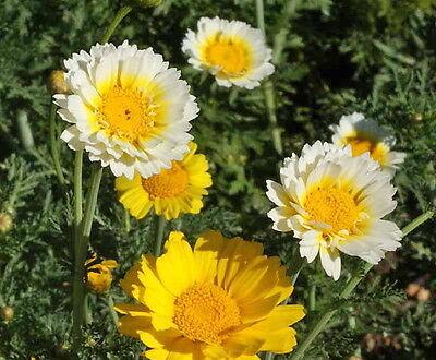 BOGO 50/% off SALE Garland Daisy 200  Seeds