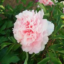 Pink Girl Peony 20 Seeds Chinese Peony Seeds Beautiful Garden Flower Blooming