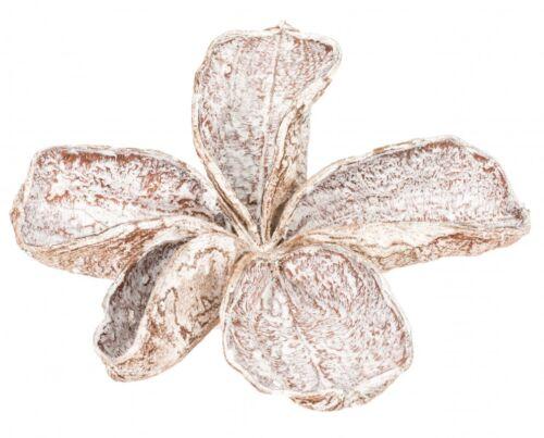 NaDeco® Landlotus weiß ca 5-10cmLandlotos BlütenStercúlia úrensTrocken
