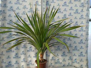 Pandanus utilis height 140-150 cm , pot 30 cm