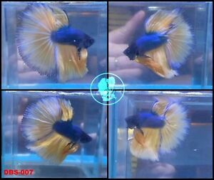 (007)[Live Betta Fish High Quality Male Fancy Over Halfmoon
