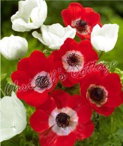Bulbe Fleur Anemone The Bride Hollandia X 30 Fleur Printemps Rouge
