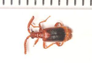 Paussinae-Paussidae-Entomology-SOUTH-YUNNAN-3