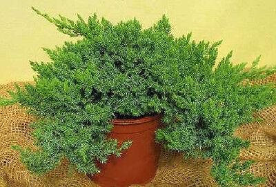 Japanischer Kriechwacholder Juniperus procumbens 'Nana' sehr winterhart