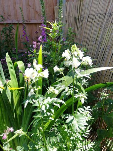 Polemonium ALBA-Bianco Jacobs Ladder x 60 Semi 2020-Cottage Garden perenne