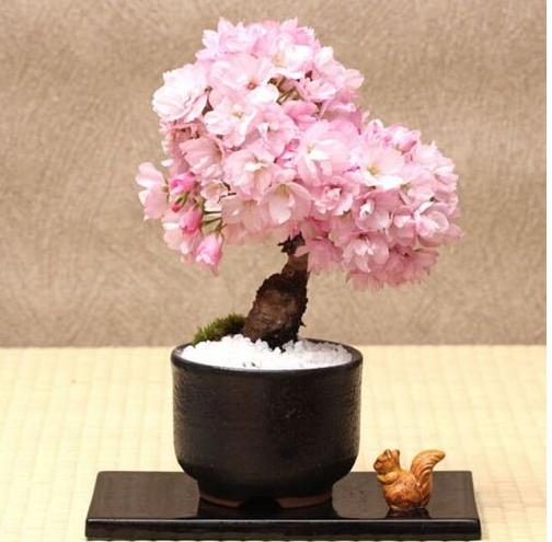 Cherry Bonsai Tree Japanese New Blossoms Sakura Flower Seeds Perennial 20pcs For Sale Online
