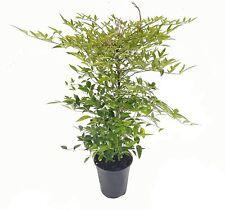 PERAGASHOP 1 PLANT of NANDINA Domestic Fire Power in Pot 18CM ROCCIOUS HAIULES VASES