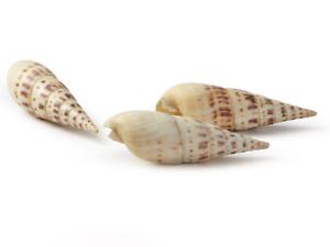 Echte Naturdeko Muschel Schnecke zur Deko Aquarium 247
