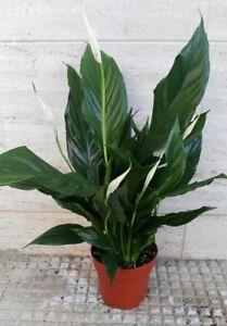 Immagini Piante Da Appartamento.Spathiphyllum Piante Da Interno Pianta Da Appartamento Arredamento