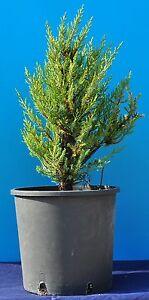 JUNIPERUS-PHOENICEA-enebro-fenicia-Cedro-lisa-Enebro-fenicio-Planta-v18