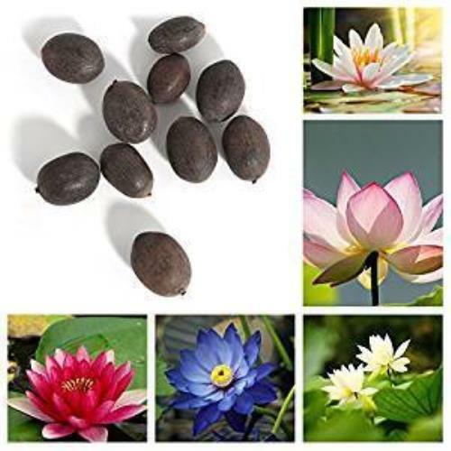 Aquatic Lotus Seeds Mixed Colors Aquatic Water Garden indoor//outdoor #Aquatic Pl