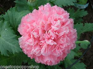 200 Poppy Flower Seeds Pink Skyline Peony Poppies Papaver