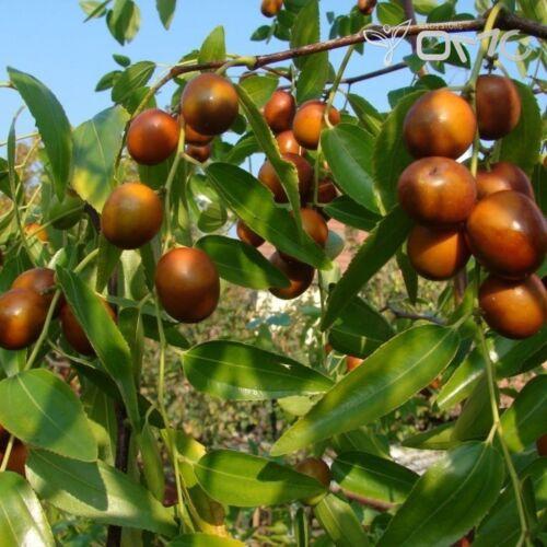 Ziziphus Jujuba 50 graines semillas SEMI Graines sementes SAMEN Zaden