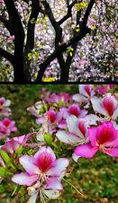 BAUHINIA VARIEGATA - ALBERO DELLE ORCHIDEE ROSA A VENATURE ROSSE, 10 SEMI