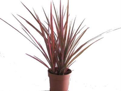 Dracaena Marginata Colorama Live Plant Tri Color Dragon Tree Houseplant 4 Pot Ebay