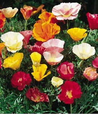 Poppy- California Mix- 50 Seeds